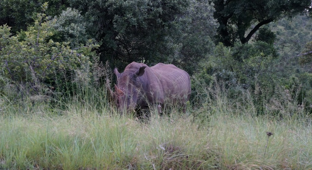"Rhinoceros, one of the ""Big Five"", spotted during Lama Ole's visit in the national park near Johannesburg."
